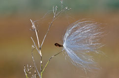 Milkweed Seed Snagged by a Twig Stock Image