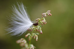 Milkweed Seed Snagged by a Twig Stock Photo