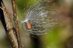 Milkweed Seed Tangled on Twig Royalty Free Stock Photo
