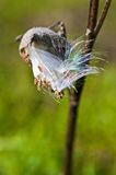 Milkweed Seedpod Fotografia Stock