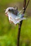 Milkweed Seedpod Fotografía de archivo