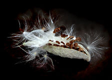 Milkweed Seeds Stock Photography