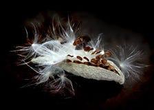 Milkweed Seeds. Milkweed seed pod releasing on black background stock photography