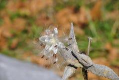 Milkweed seeds. Close up of milkweed seed Royalty Free Stock Photography