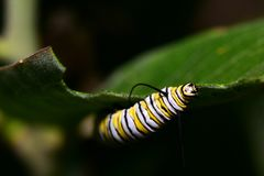 Milkweed Snack royalty free stock images