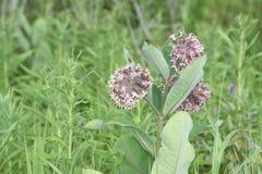 Milkweed, syriaca del Asclepias (florecimiento) imagen de archivo libre de regalías