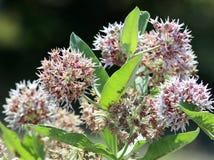 Milkweed voyant - speciosa d'Asclepias Image libre de droits