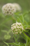 Milkweed wildflower