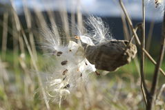 Milkweed pod. Releasing seeds in meadow on sunny day stock photos