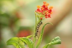 Milkweedblommor och larv Royaltyfri Bild