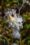 Milkweeden kärnar ur fröskidaöppning Arkivbild