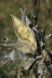 Milkweeden kärnar ur fröskidan Arkivfoto