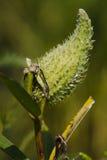 milkweedfröskida Royaltyfria Foton