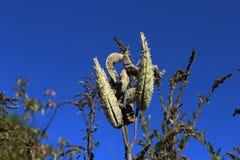 Milkweedpeulen Stock Afbeeldingen