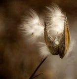 Milkweedstartwerte für zufallsgenerator, die in der Herbstbrise durchbrennen. Stockfoto