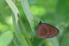 Milkweedvlinder Stock Afbeelding