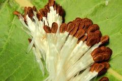 Milkweedzaden royalty-vrije stock afbeeldingen