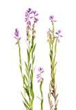 Milkwort rosa isolato su bianco Immagini Stock Libere da Diritti