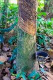 Milky латекс извлеченный от резинового дерева Стоковые Фото