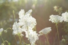 Milky белые цветки стоковое фото rf