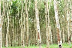 Milky латекс извлеченный от резинового дерева, источника дерева природного каучука в положении Таиланда стоковая фотография