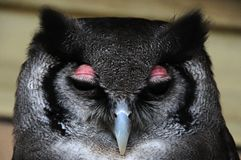Milky Eagle Owl Stock Images