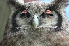 Milky eagle owl Royalty Free Stock Photo