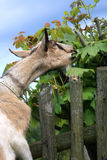 Milky goat gnaw leaves Royalty Free Stock Photo