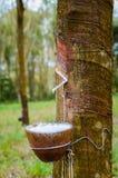 Milky lateks wydobujący od gumowego drzewa Hevea Brasiliensis jako źródło naturalna guma Zdjęcia Stock