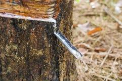 Milky lateks wydobujący od gumowego drzewa Hevea Brasiliensis jako źródło naturalna guma Fotografia Stock