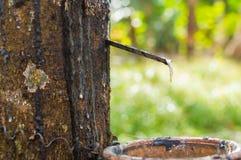 Milky lateks wydobujący od gumowego drzewa Hevea Brasiliensis jako źródło naturalna guma Obraz Royalty Free