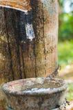 Milky lateks wydobujący od gumowego drzewa Hevea Brasiliensis jako źródło naturalna guma Zdjęcia Royalty Free
