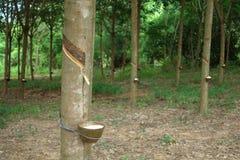 Milky lateks wydobujący od gumowego drzewa jako źródło naturalny ru Fotografia Stock