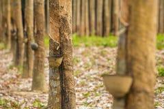 Milky lateks wydobujący od gumowego drzewa Fotografia Royalty Free