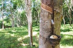 Milky lateks wydobujący od gumowego drzewa (Hevea Brasiliensis) Zdjęcia Royalty Free