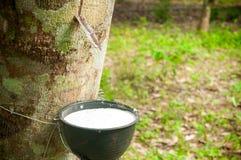 Milky lateks wydobujący od gumowego drzewa jako a (Hevea Brasiliensis) Obrazy Royalty Free