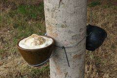 Milky latex extracted from rubber tree as a source of natural ru Stock Photo