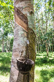 Milky latex extracted from rubber tree (Hevea Brasiliensis) Stock Photography