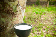 Milky latex extracted from rubber tree (Hevea Brasiliensis) as a Royalty Free Stock Images