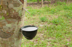 Milky latex extracted from rubber tree (Hevea Brasiliensis) Stock Photo