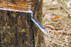 Milky latex extracted from rubber tree Hevea Brasiliensis as a source of natural rubber Stock Photography