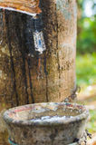 Milky latex extracted from rubber tree Hevea Brasiliensis as a source of natural rubber Royalty Free Stock Photos
