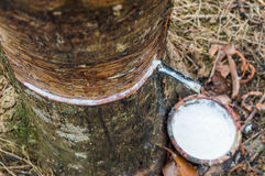 Milky latex extracted from rubber tree Hevea Brasiliensis as a source of natural rubber Royalty Free Stock Image