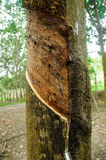 Milky latex extracted from rubber tree or a.k.a. Hevea Brasiliensis as a source of natural rubber Stock Image