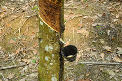 Milky latex extracted from rubber tree or a.k.a. Hevea Brasiliensis as a source of natural rubber Stock Photos