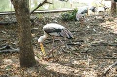 Milky Stock birds. A photo of Milky Stork & x28;Mycteria cinerea& x29; birds: white plumaged stork species found in coastal mangroves of Southeast Asia stock images