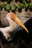 Milky stork. The upper body of milky stork Royalty Free Stock Images