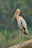 Milky Stork。 Stock Photos