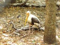Milky Stork Royaltyfri Bild