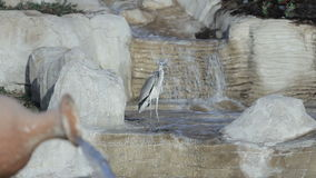 Milky stork bird in a lake in front of a waterfall with lake. Milky stork bird in a lake in front of a waterfall with artificial lake stock video footage